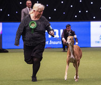 Crufts 2019 - Best of Breed / Hound